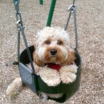 cockapoo-in-a-swing
