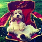cockapoo-in-picnic-chair