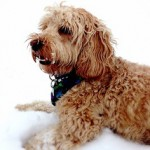 cockapoo-in-snow