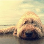 Cockapoo lying on beach