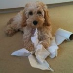 cockapoo-playing-with-toilet-roll