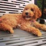 cockapoo-relaxing-outdoors