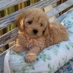 young-cockapoo-outside